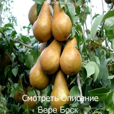 Груша Бере Боск