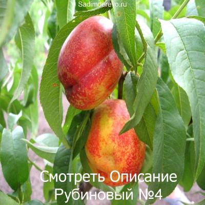 Нектарин Рубиновый №4